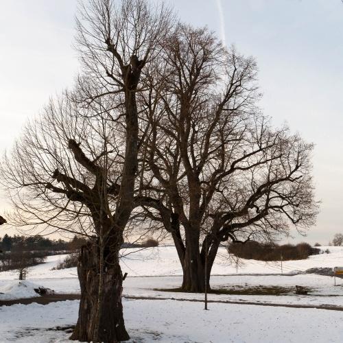 Linden auf dem Galgenberg in Hayingen-2