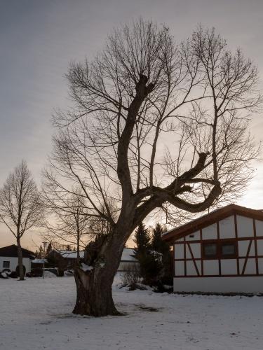 Linden auf dem Galgenberg in Hayingen-3