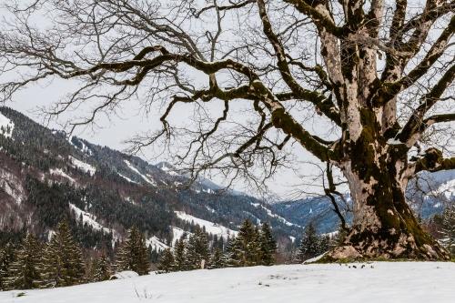 Bergahorn in 1000 m Hoehe-2