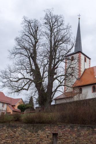 Linde - Habitus v.d. Strasse aus