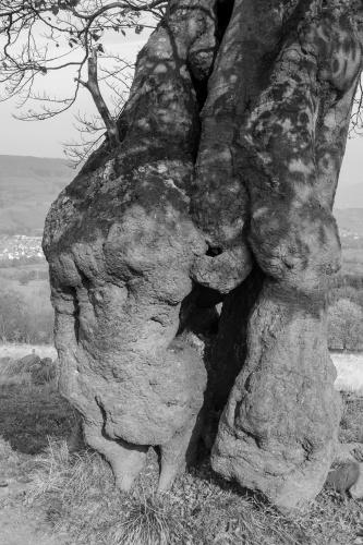 Knorrige solitaere Buche auf der Nordweide am Steinkopf - Stammdetail