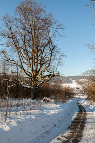 Reste Lindenallee Baum 4-2