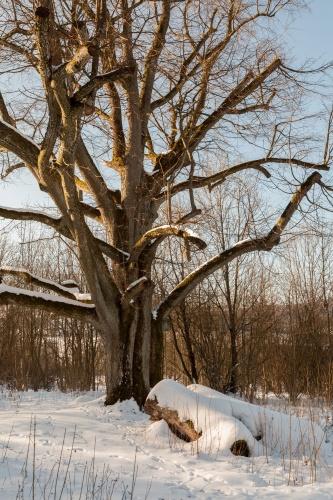 Reste Lindenallee Baum 4-3