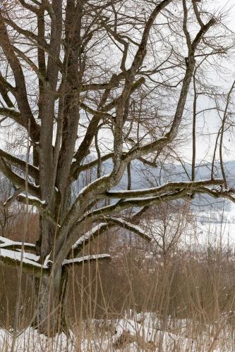 Reste Lindenallee Baum 4