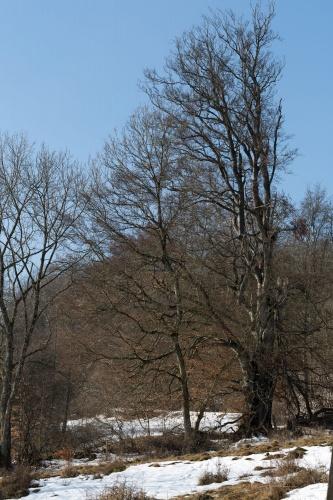 Gerupfte Rotbuche 5; 4,75 m (2007)