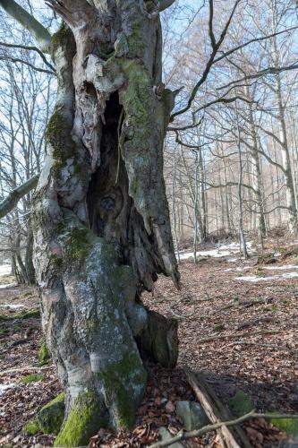 Hohle Rotbuche 2