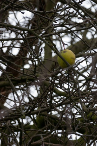 Wild-Apfel - Detail