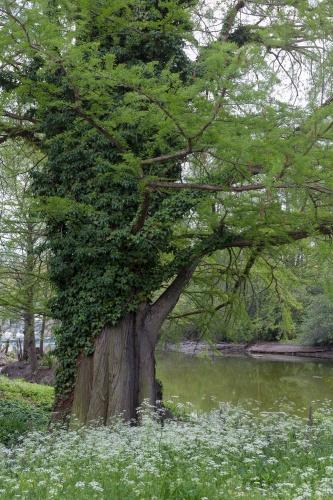Sumpfzypresse im Frankfurter Zoo-2