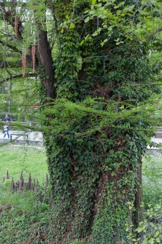 Sumpfzypresse im Frankfurter Zoo-4