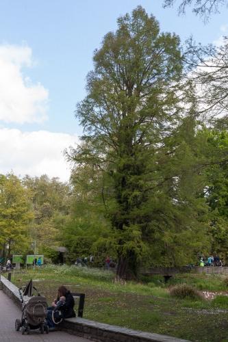 Sumpfzypresse im Frankfurter Zoo