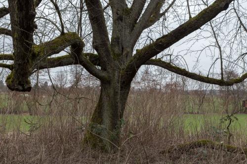 Ungepflegter Speierling nahe Westerbach-2
