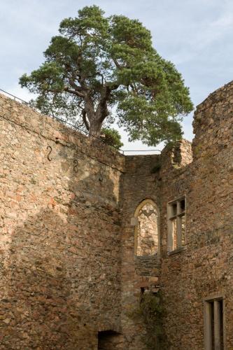 Kiefer auf dem Auerbacher Schloss - Sicht vom Hof