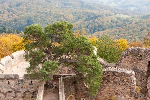 Kiefer auf dem Auerbacher Schloss - Sicht vom Turm