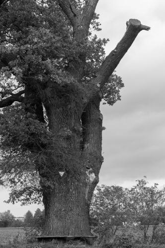 Eiche nahe Bensheimer Hof mit Totholz