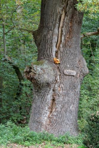 Feutner-Eiche mit Blitzrinne und Pilz