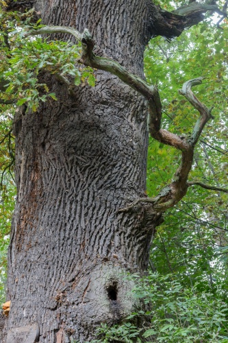Feutner-Eiche mit Totholz