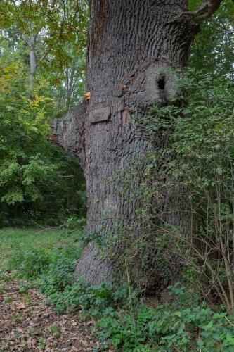 Feutner-Eiche mit alten Stammansaetzen