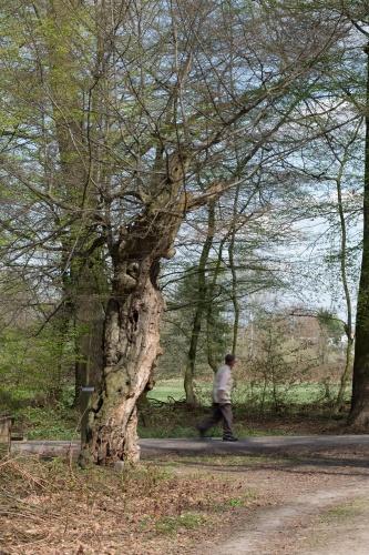 Schneitelbuche im Wald in Sprendlingen - Habitus
