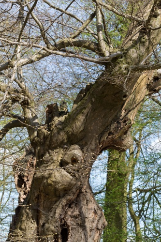 Schneitelbuche im Wald in Sprendlingen - Krone