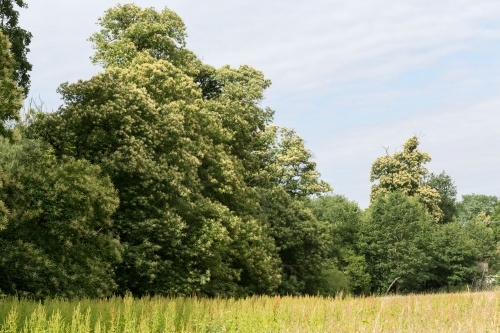 Teilansicht von der Wiese aus mit (rechts) dem letzten Baum der Kastaniengruppe