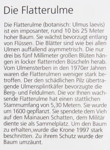 Lausbaeumchen - Flatterulme-13