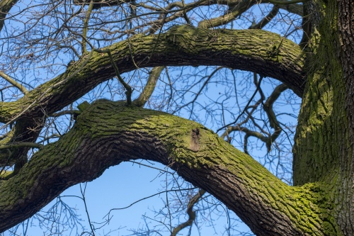 Lausbaum an der Hohen Strasse-2
