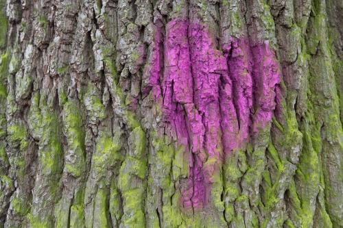 Lausbaum (Liebesbaum) an der Hohen Strasse in Kilianstaedten