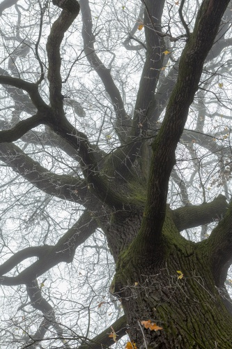 Lausbaum - Blick in die Krone