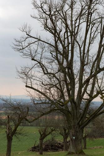Speierling in Kelkheim Hoher Wuchs