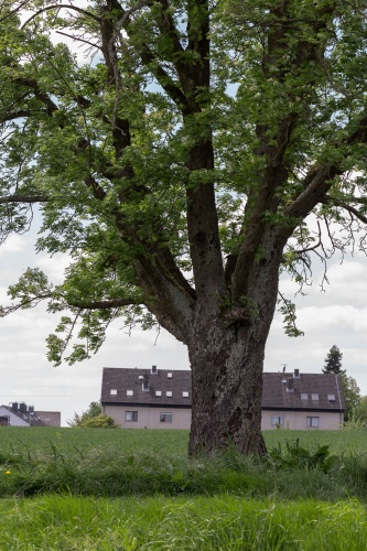 Speierling in Niederhoechstadt vor Wohngebiet