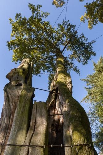 Eiche Airlenbach mit Seilschaft