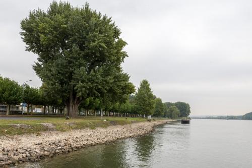 Schwarzpappel, Populus nigra