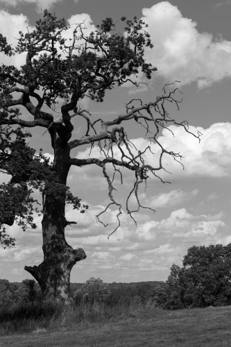 Kranke Stieleiche vor Schoenwetter-Wolken