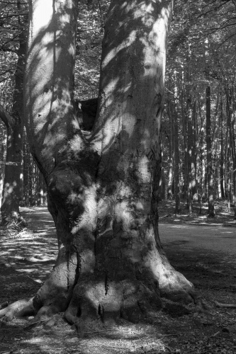 Zwillingsbuchen im Nationalpark-3