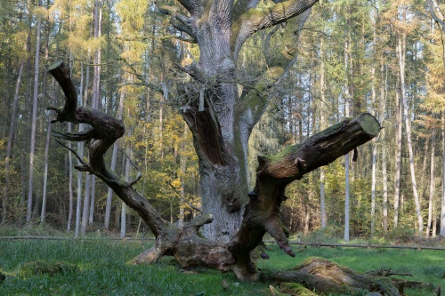 Schirm-Eiche mit Bruchholz