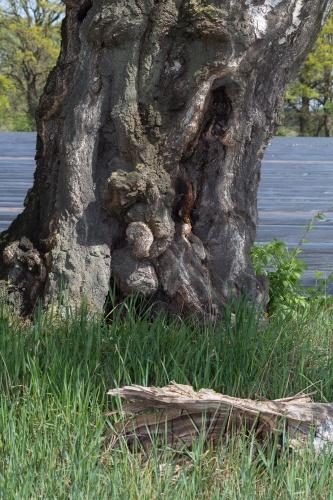 Haengebirke in Greffen - Stamm mit Totholz