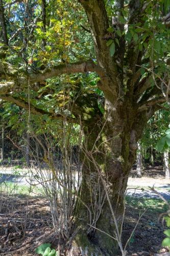 Eberesche - Vogelbeere am Hochrhoener - Stamm und kRONE