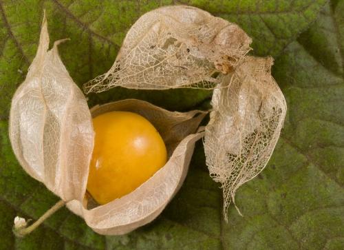 Frucht und Huelle einer Physalis