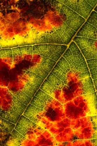 Weinblatt – schwarze Traube