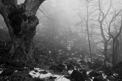 Bergahorn im Nebelwald