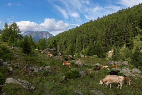 Rinder bei Freichi