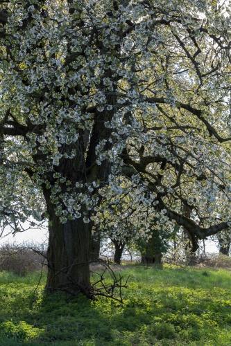 Kirschbluete im Gegenlicht
