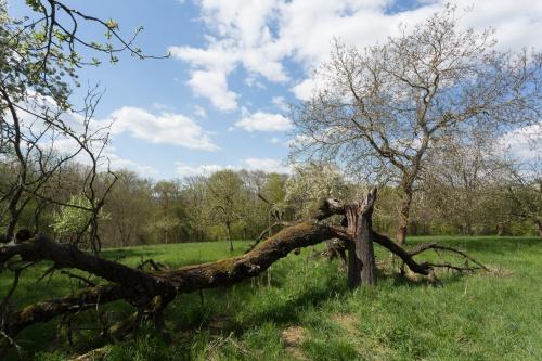 Totholz mit Walnussbaum