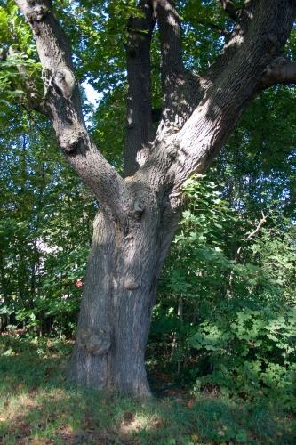 Spitzahorn (Acer platanoides)