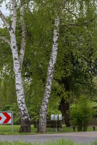 Chlodwig-Poth-Weissdorn mit Blueten