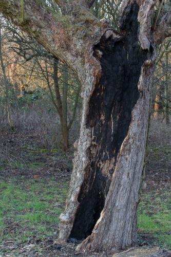 Alter hohler Apfelbaum