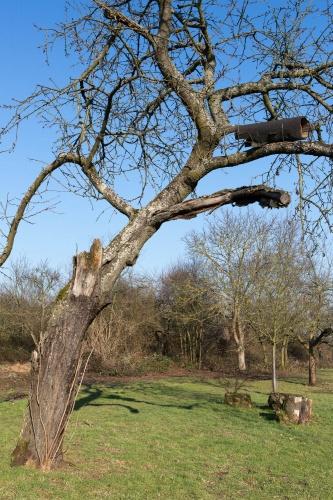 Steinkauzroehre in Apfelbaum