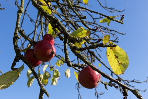 Roter Apfel-2