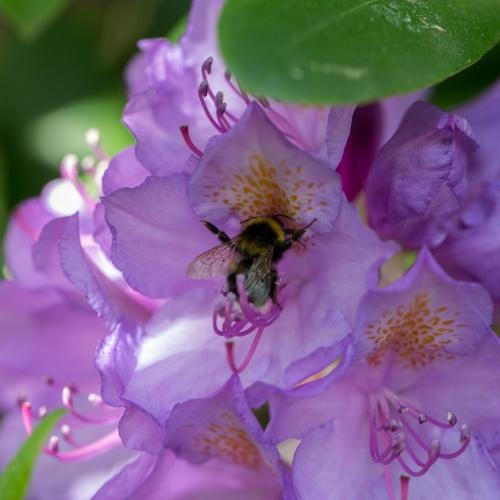 Biene an Rhododendron