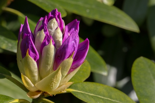 Rhododendron-Knospe
